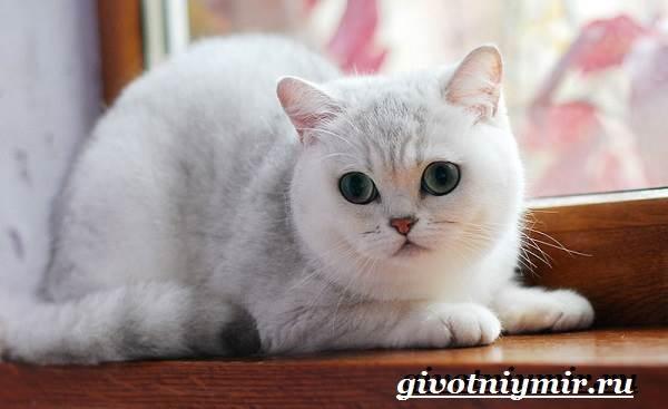 Британская-кошка-Описание-особенности-уход-и-цена-британской-кошки-12