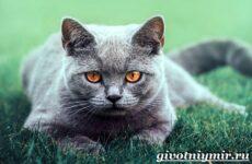 Британская кошка. Описание, особенности, уход и цена британской кошки
