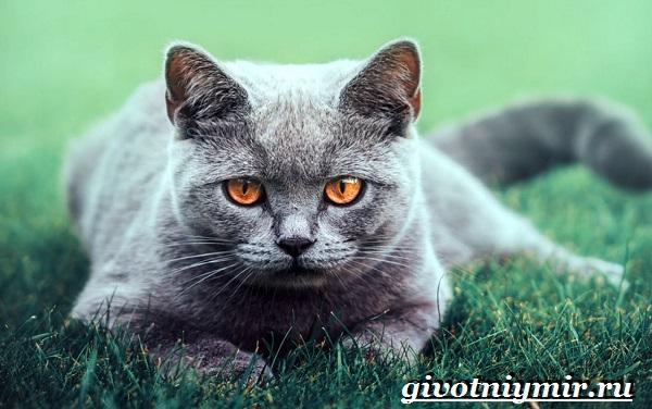 Британская-кошка-Описание-особенности-уход-и-цена-британской-кошки-13