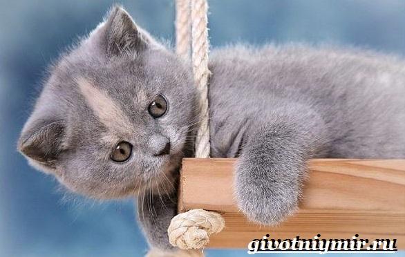 Британская-кошка-Описание-особенности-уход-и-цена-британской-кошки-14
