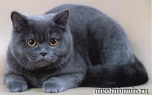 Британская-кошка-Описание-особенности-уход-и-цена-британской-кошки-2