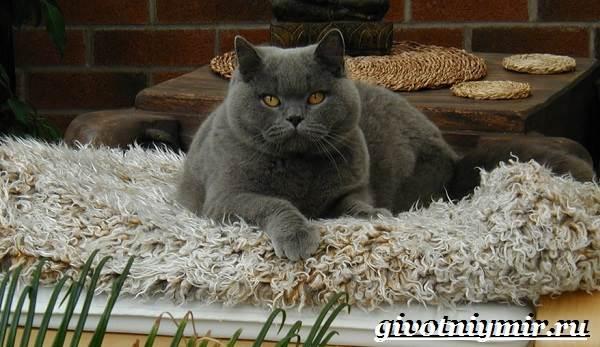 Британская-кошка-Описание-особенности-уход-и-цена-британской-кошки-3