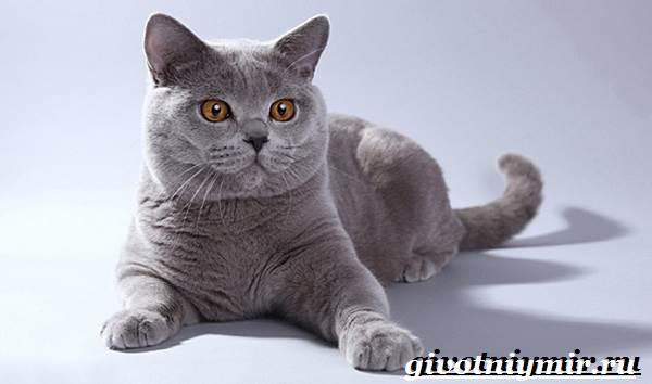 Британская-кошка-Описание-особенности-уход-и-цена-британской-кошки-5