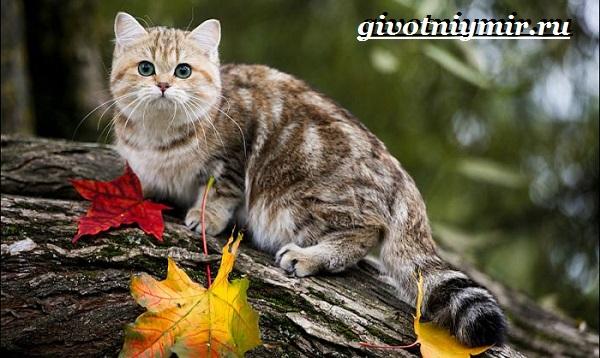 Британская-кошка-Описание-особенности-уход-и-цена-британской-кошки-7