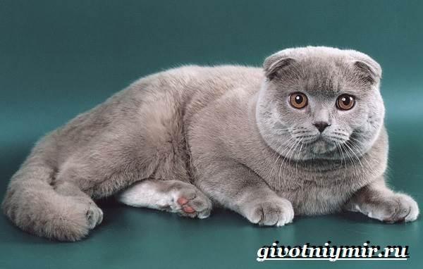 Британская-кошка-Описание-особенности-уход-и-цена-британской-кошки-9