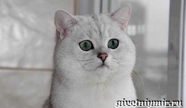 Бурмилла-кошка-Описание-особенности-уход-и-цена-бурмиллы-1