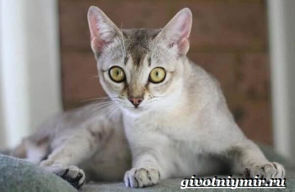 Бурмилла-кошка-Описание-особенности-уход-и-цена-бурмиллы-2