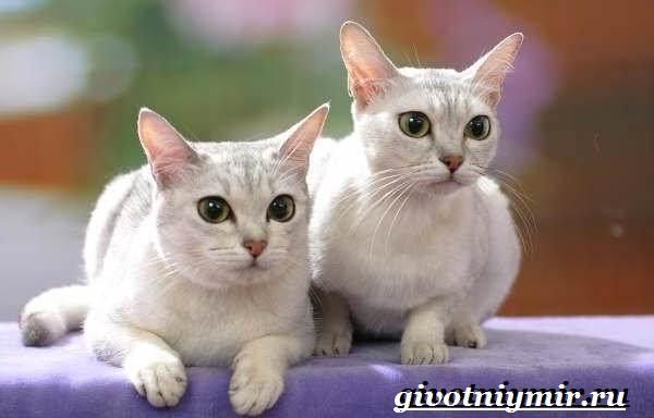 Бурмилла-кошка-Описание-особенности-уход-и-цена-бурмиллы-3
