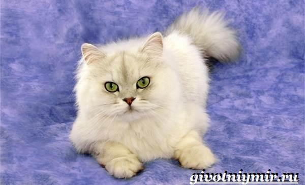 Бурмилла-кошка-Описание-особенности-уход-и-цена-бурмиллы-4