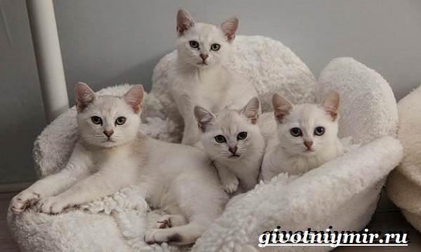 Бурмилла-кошка-Описание-особенности-уход-и-цена-бурмиллы-5