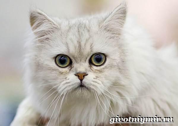 Бурмилла-кошка-Описание-особенности-уход-и-цена-бурмиллы-6