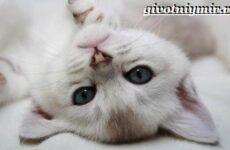 Бурмилла кошка. Описание, особенности, уход и цена бурмиллы