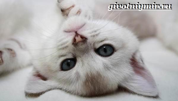 Бурмилла-кошка-Описание-особенности-уход-и-цена-бурмиллы-7