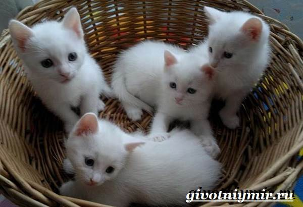Бурмилла-кошка-Описание-особенности-уход-и-цена-бурмиллы-8