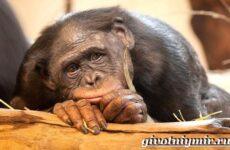 Человекообразная обезьяна. Образ жизни и среда обитания человекообразной обезьяны