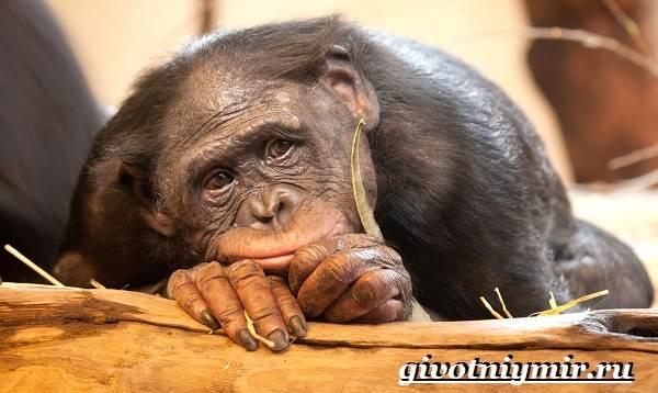 Человекообразная-обезьяна-Образ-жизни-и-среда-обитания-человекообразной-обезьяны-1