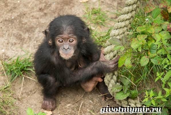 Человекообразная-обезьяна-Образ-жизни-и-среда-обитания-человекообразной-обезьяны-10