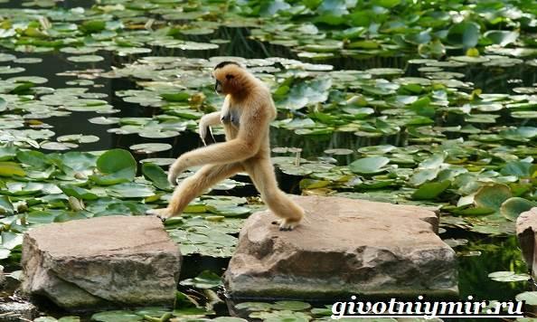 Человекообразная-обезьяна-Образ-жизни-и-среда-обитания-человекообразной-обезьяны-2