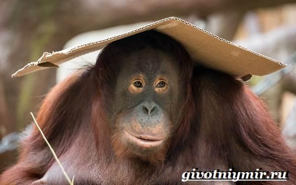 Человекообразная-обезьяна-Образ-жизни-и-среда-обитания-человекообразной-обезьяны-3