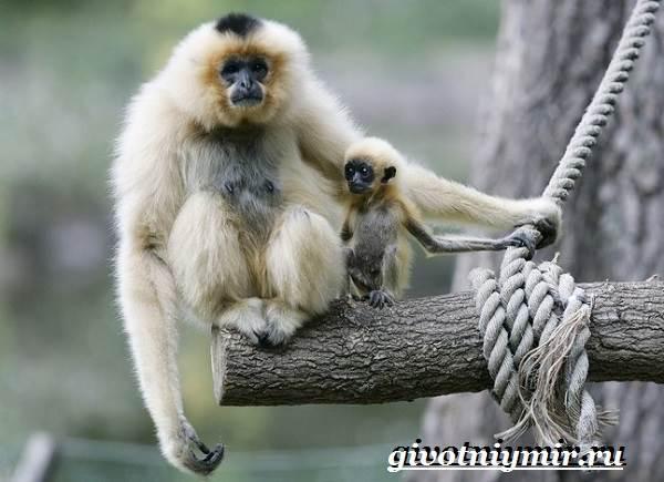 Человекообразная-обезьяна-Образ-жизни-и-среда-обитания-человекообразной-обезьяны-4