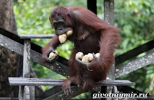 Человекообразная-обезьяна-Образ-жизни-и-среда-обитания-человекообразной-обезьяны-6