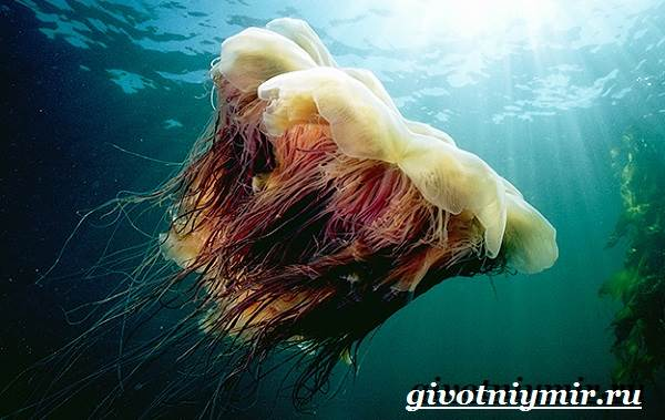 Цианея-медуза-Образ-жизни-и-среда-обитания-цианеи-1