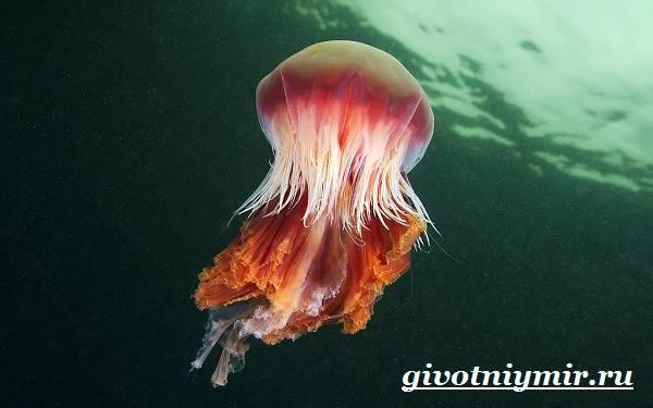 Цианея-медуза-Образ-жизни-и-среда-обитания-цианеи-2
