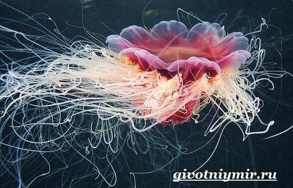 Цианея-медуза-Образ-жизни-и-среда-обитания-цианеи-3