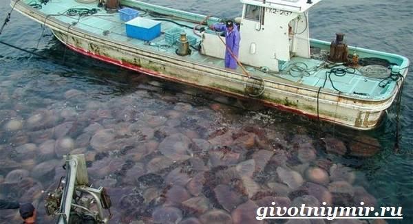 Цианея-медуза-Образ-жизни-и-среда-обитания-цианеи-4