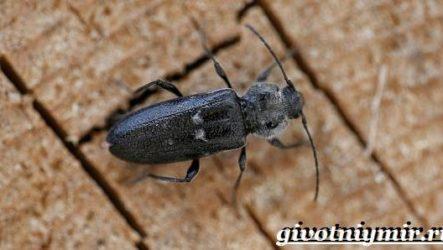 Древоточец жук. Образ жизни и среда обитания жука древоточца