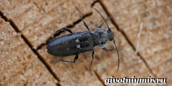 Древоточец-жук-Образ-жизни-и-среда-обитания-жука-древоточца-1