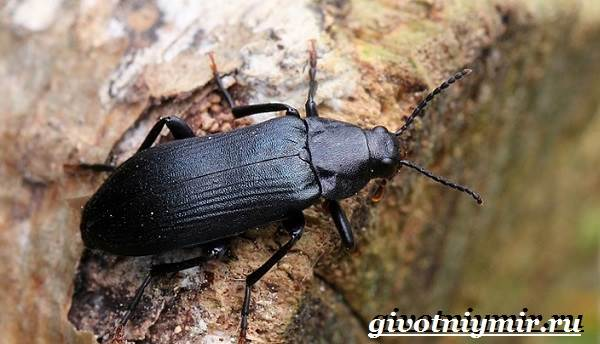 Древоточец-жук-Образ-жизни-и-среда-обитания-жука-древоточца-2