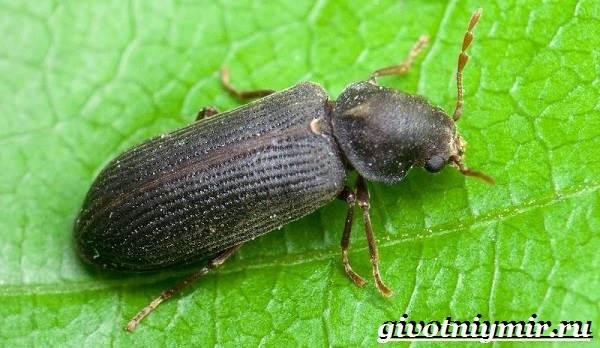 Древоточец-жук-Образ-жизни-и-среда-обитания-жука-древоточца-3