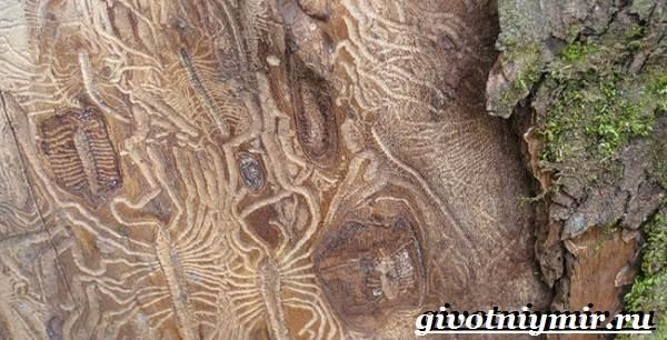 Древоточец-жук-Образ-жизни-и-среда-обитания-жука-древоточца-4