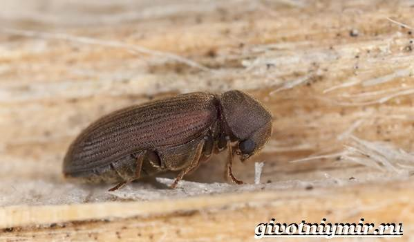 Древоточец-жук-Образ-жизни-и-среда-обитания-жука-древоточца-6