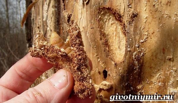 Древоточец-жук-Образ-жизни-и-среда-обитания-жука-древоточца-7