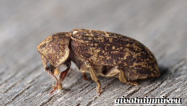 Древоточец-жук-Образ-жизни-и-среда-обитания-жука-древоточца-8
