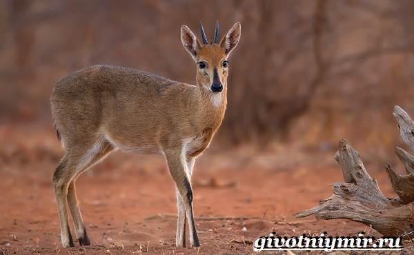 Дукер-антилопа-Образ-жизни-и-среда-обитания-дукера-2
