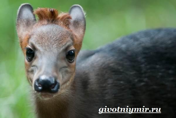Дукер-антилопа-Образ-жизни-и-среда-обитания-дукера-3