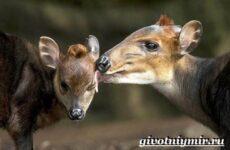 Дукер антилопа. Образ жизни и среда обитания дукера