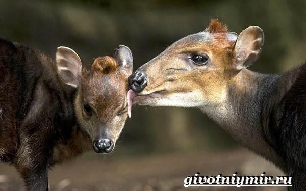 Дукер-антилопа-Образ-жизни-и-среда-обитания-дукера-4