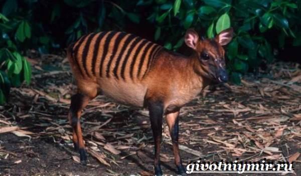 Дукер-антилопа-Образ-жизни-и-среда-обитания-дукера-6