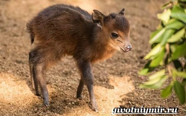 Дукер-антилопа-Образ-жизни-и-среда-обитания-дукера-8
