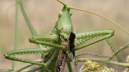 Дыбка степная кузнечик. Образ жизни и среда обитания дыбки степной