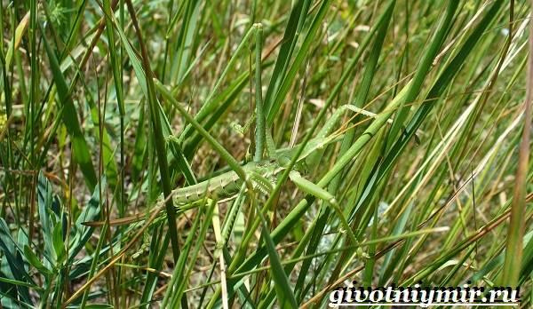 Дыбка-степная-кузнечик-Образ-жизни-и-среда-обитания-дыбки-степной-7