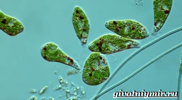 Эвглена-зеленая-Образ-жизни-и-среда-обитания-эвглены-зелёной-3