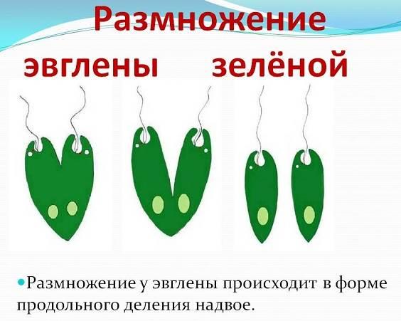 Эвглена-зеленая-Образ-жизни-и-среда-обитания-эвглены-зелёной-4