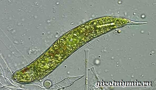 Эвглена-зеленая-Образ-жизни-и-среда-обитания-эвглены-зелёной-5