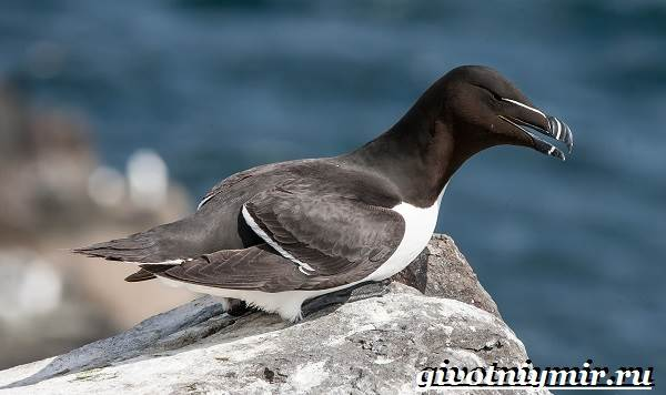 Гагарка-птица-Образ-жизни-и-среда-обитания-гагарки-2