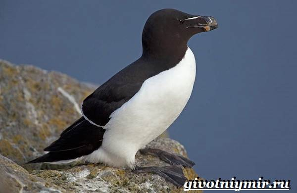 Гагарка-птица-Образ-жизни-и-среда-обитания-гагарки-3